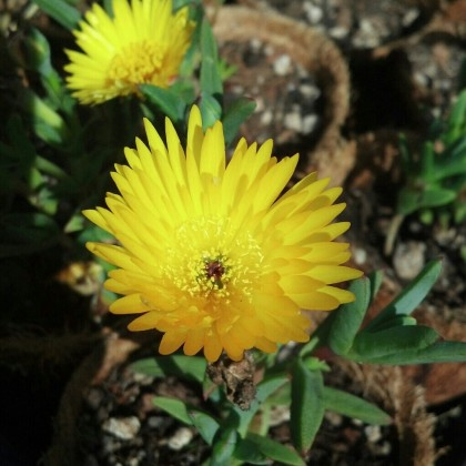 Yellow Delosperma